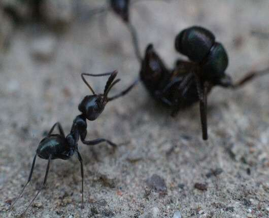 black house ant pest control brisbane