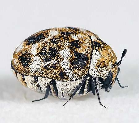 carpet-beetle-adult pest control brisbane-10