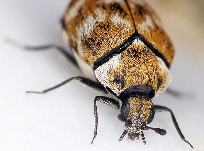 carpet-beetle-adult pest control brisbane