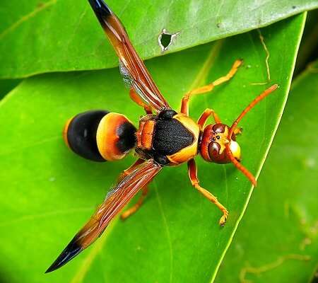 hornets and wasps brisbane pest control-12