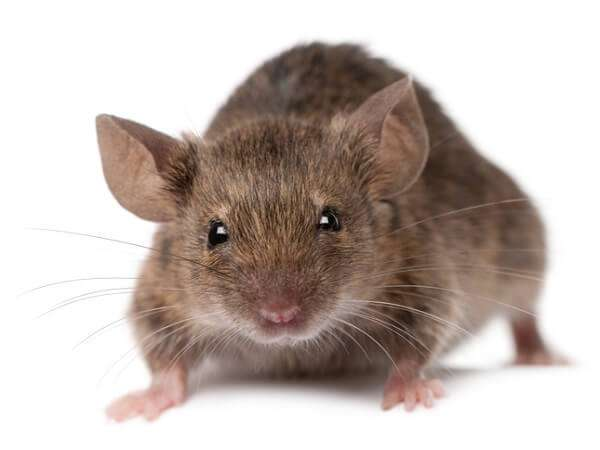 house mouse pest control brisbane