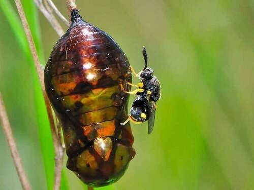 parasitic wasps hornets and wasps brisbane pest control