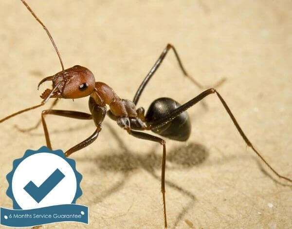 pest control ants ground brisbane-3