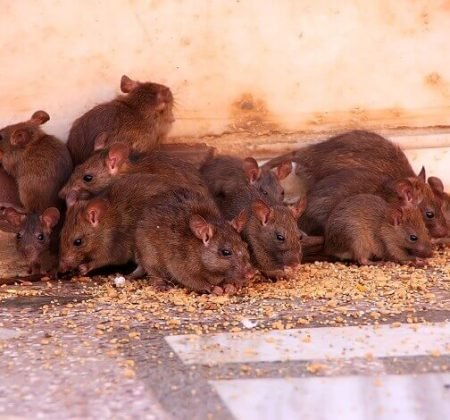 Residential Internal Rodent Control