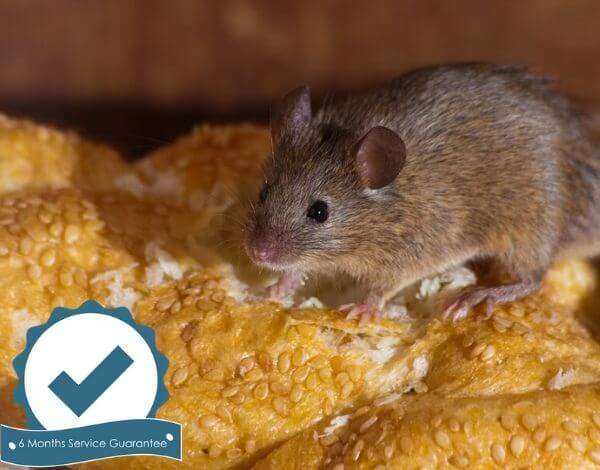 pest control rodents rats mice mouse brisbane-23