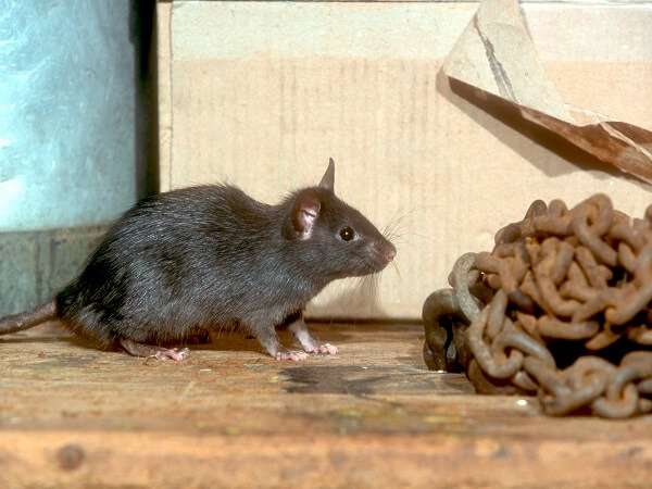 ship rat pest control brisbane