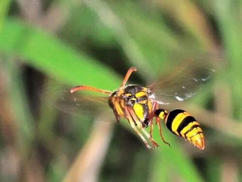 vespoid wasps hornets and wasps brisbane pest control